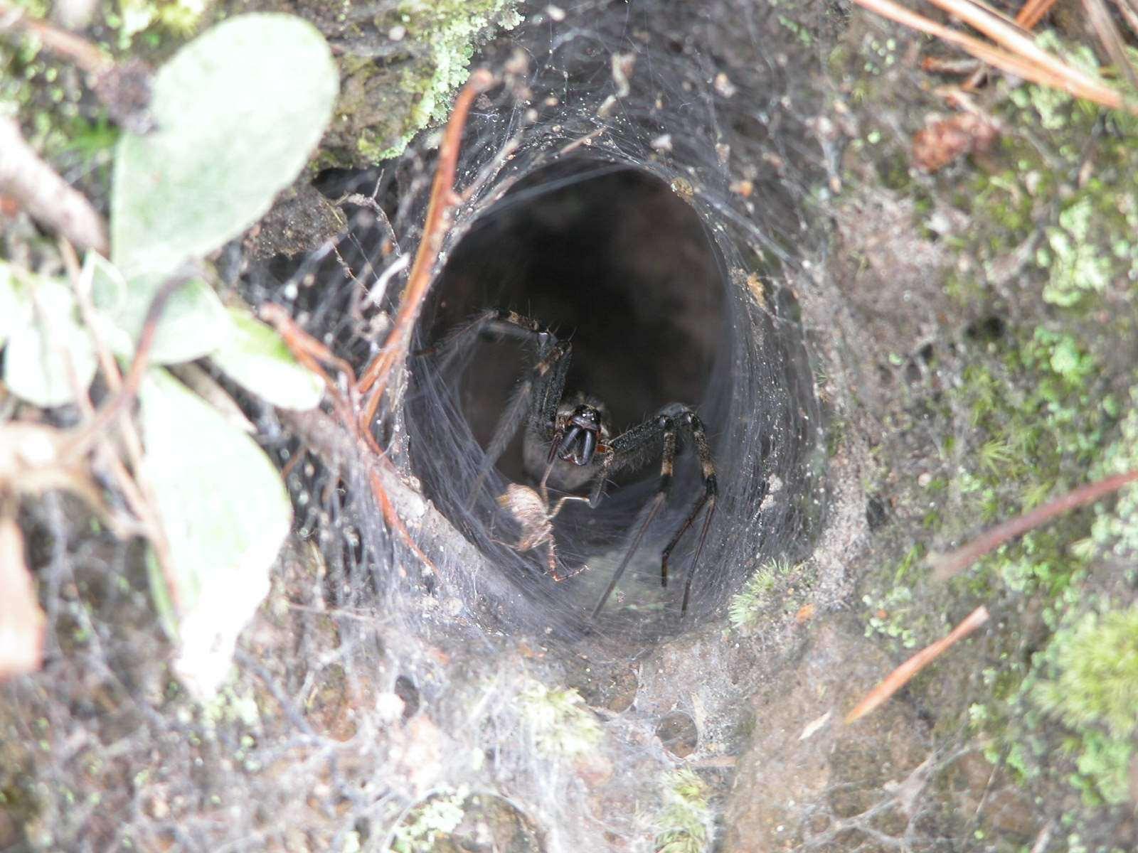 Spider found in homes  and garden