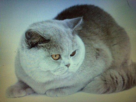 gatto british