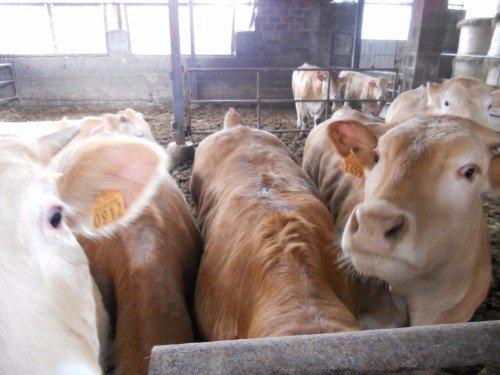 mucche azienda agricola