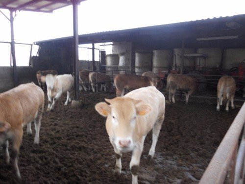 mucche spaccio carni