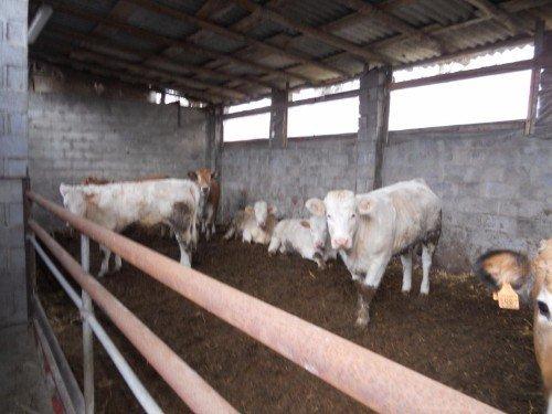 mucche che mangiano