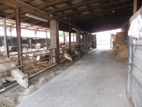 stalle per le mucche
