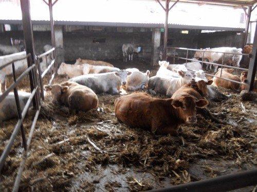 mucche d'allevamento