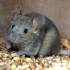 eliminazione di ratti