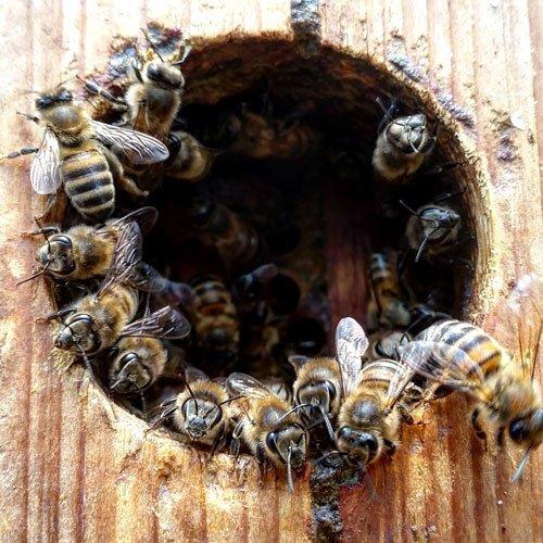 delle api in un tronco