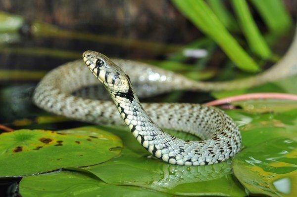 Assistenza medico veterinaria serpenti
