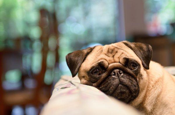 un cane sdraiato