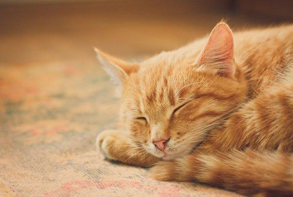 gatto arricciato per dormire