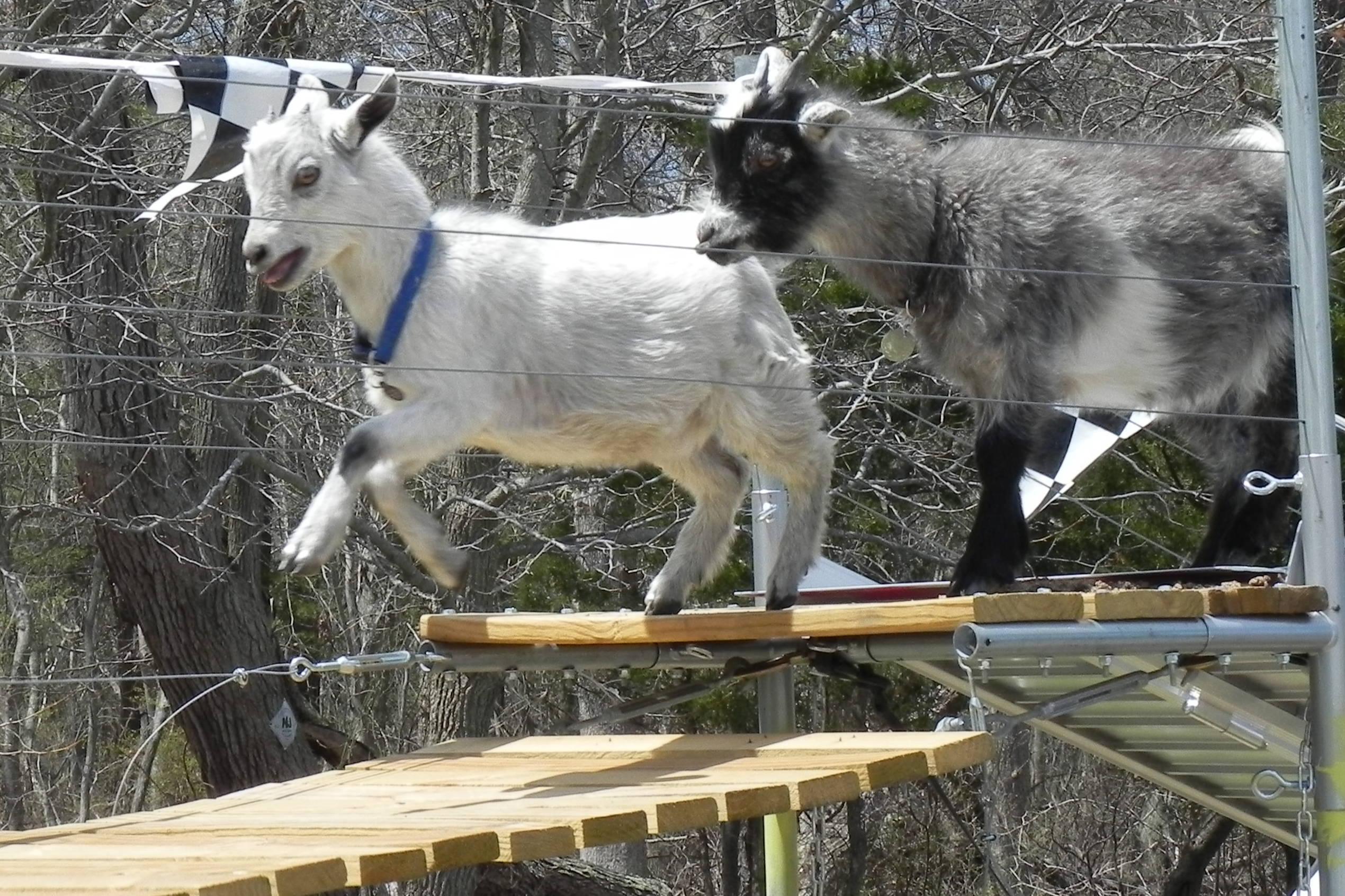 racing goats