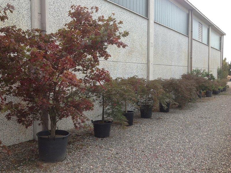 Giardini per pubblici e privati pavia andrea bariani for Aceri giapponesi