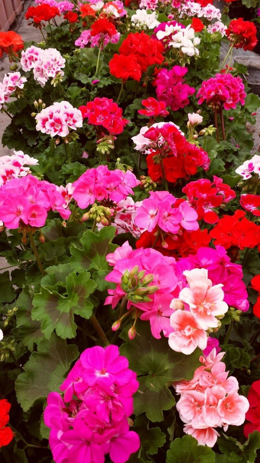 piante fiorite terrazzo
