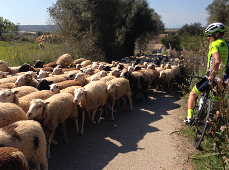 Sheep on a road during cycling camp in Spain