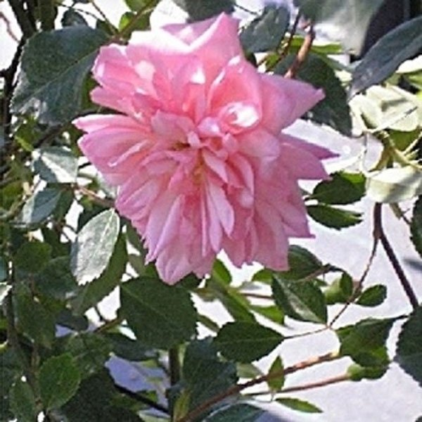 rose pregiate