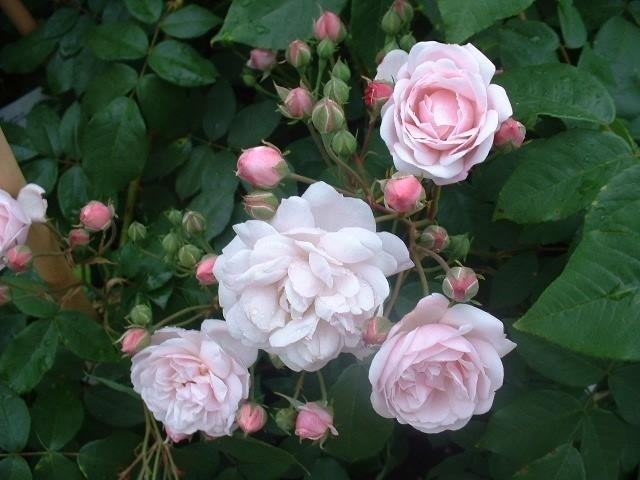 Rosa BlushNoisette