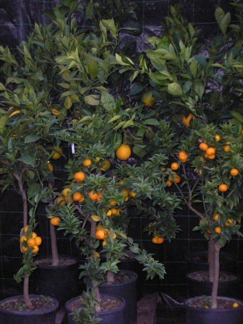 Piante da frutto roma vivaio taroni for Piante da vivaio