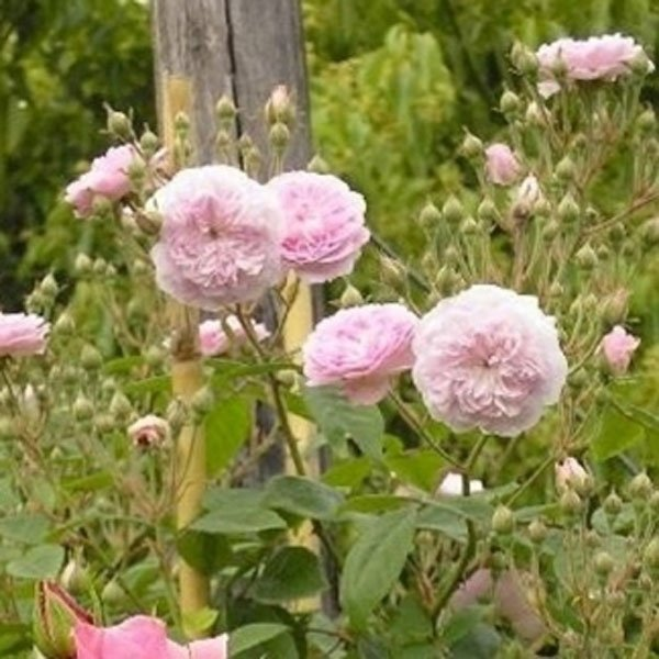 rose multiflora