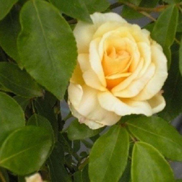 rose noisettes