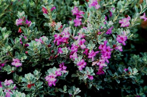 Leucophyllum langmaniae