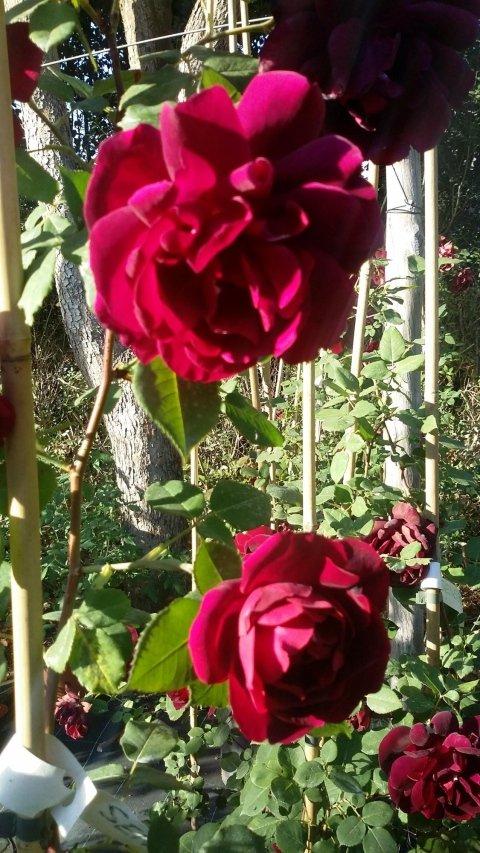 Ibridi tea roma vivaio taroni for Un rampicante fiorifero