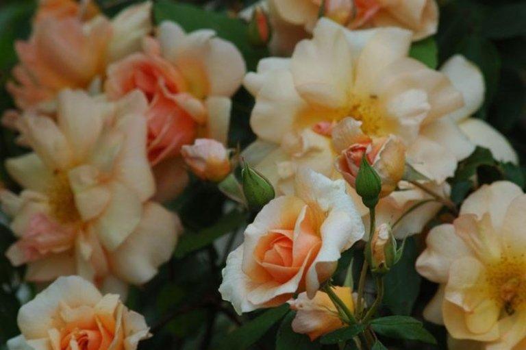 Rosa Crepuscule