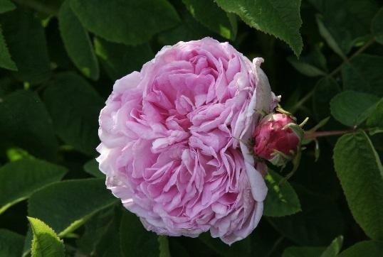 gloire de france rosa