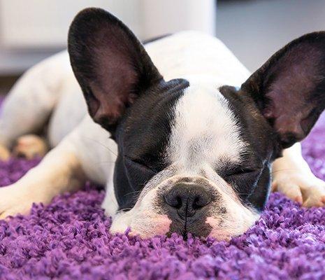 Dog slept on the pink carpet