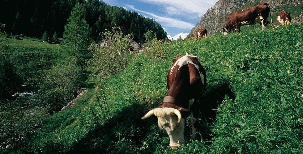 fontina cow breeds