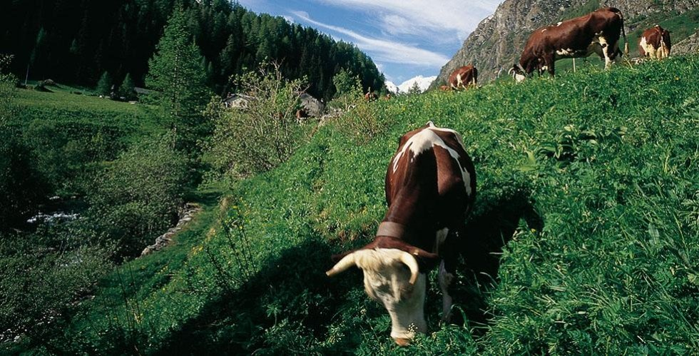 razza mucche Fontina