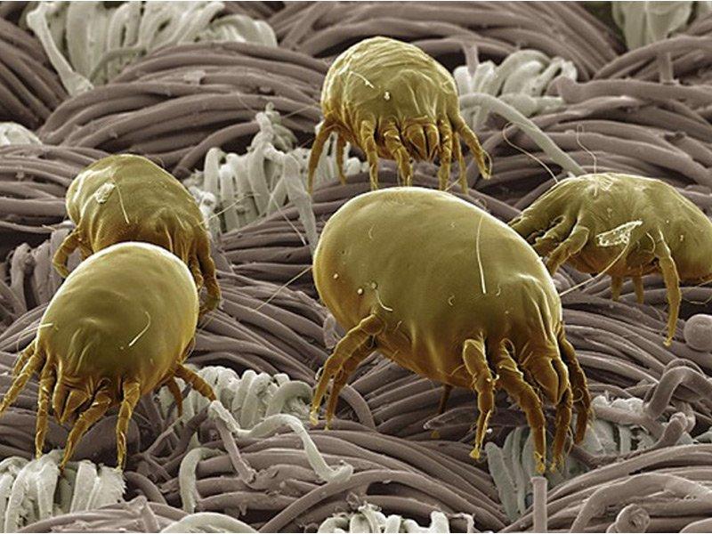 acari al microscopio
