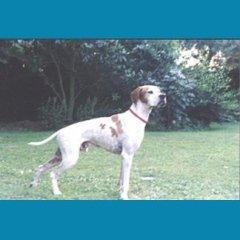 allevamento cani pointer