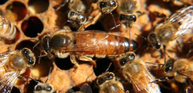 New queen bee surrounded by courtiers