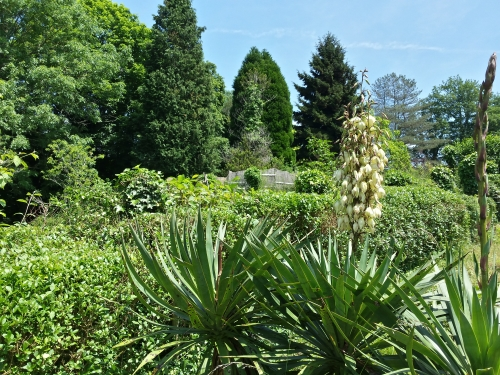 Yucca plants in flower
