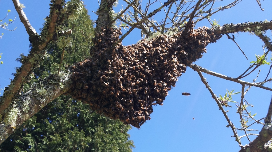 A swarm of bees in our peach tree