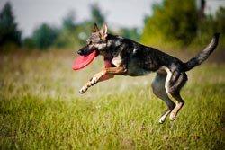 un cane che gioca con un frisbee