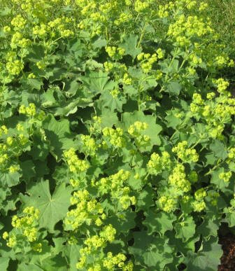 Alchemilla flowers