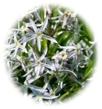 Amsonia flowers