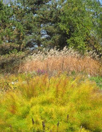Amsonia hubrichtii fall foliage
