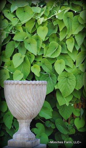 Aristolochia durior/macrophylla