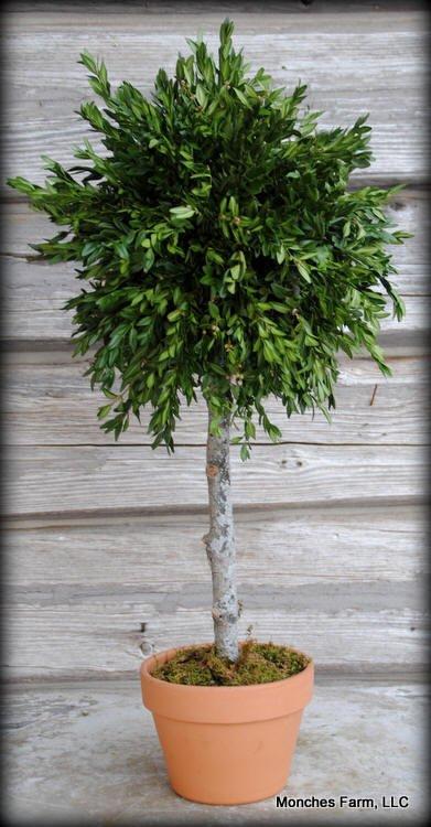 Boxwood Topiary Class #1