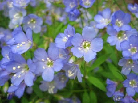 Polemonium reptans Flower