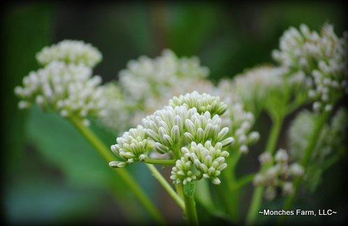 Cacalia muhlenbergii (syn. Arnoglosum reniforme)