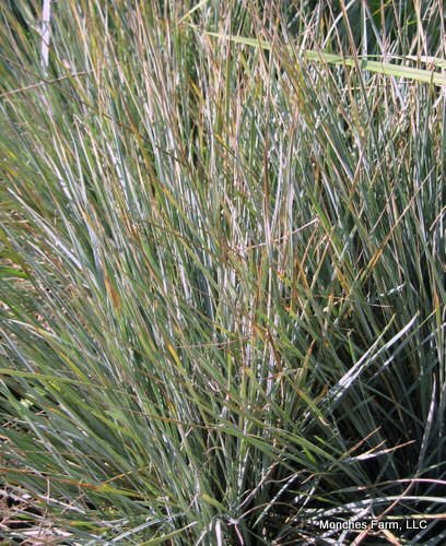 Ornamental grasses for Oriental grass for shade