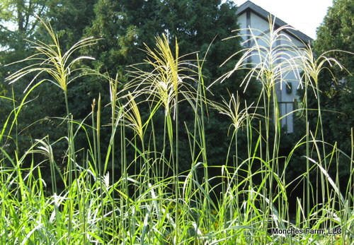 Ornamental grasses for Ornamental grasses with plumes