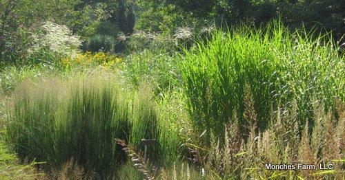 Ornamental grasses for Variegated ornamental grass varieties