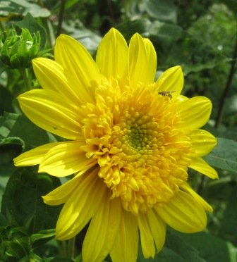 Spring planting for autumn bloom there are a number of very nice late summer fall blooming helianthus all bear golden yellow flowers on tall stems mightylinksfo