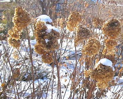 Hydrangea Seedheads
