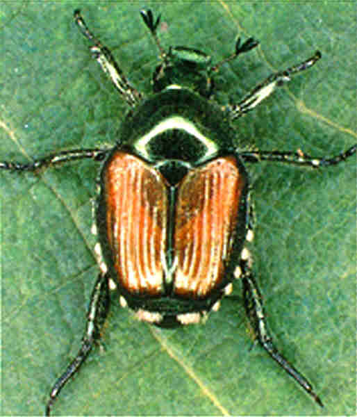 Japanese Beetle, Adult