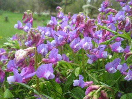 Lathyrus vernus flowers