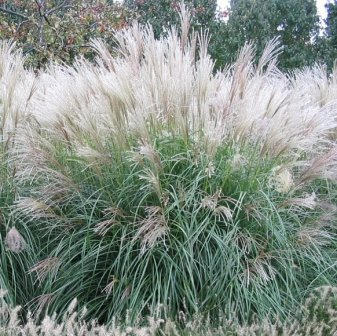 Spring planting for autumn bloom for Ornamental grasses with plumes
