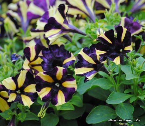 Petunia 'Ray Sunflower'